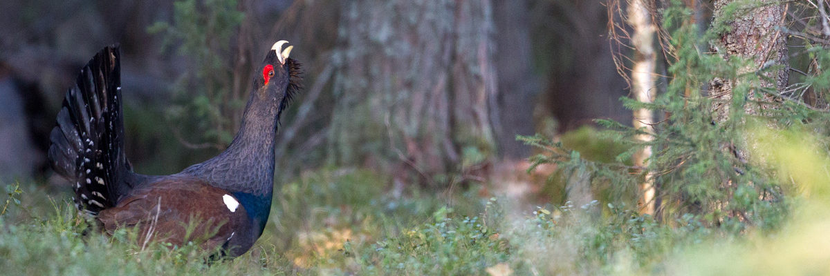 Male western capercaillie (Tetrao urogallus) in the forest